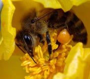 蜂有角的鸦片 免版税库存图片