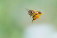 蜂服装小飞行的女孩 库存图片