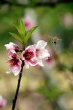 蜂服装小飞行的女孩 图库摄影