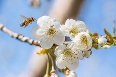 蜂服装小飞行的女孩 免版税图库摄影