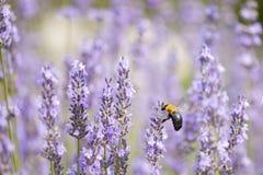 蜂木匠大淡紫色 库存图片
