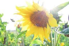 蜂本质夏天向日葵 图库摄影