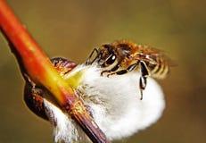 蜂柔荑花结构树 库存照片