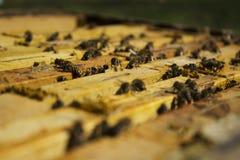 蜂框架 免版税图库摄影