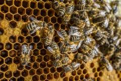 蜂框架 免版税库存照片