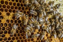 蜂框架 免版税库存图片