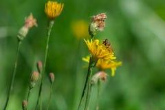 蜂概念花和平宁静 免版税库存照片