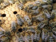 蜂殖民地在框架的库存与一个被密封的巢,花粉 免版税图库摄影