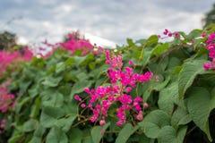 蜂流失从桃红色花束的甜水与叶子,当多云天气时 库存照片