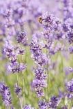 蜂淡紫色 库存图片