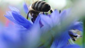 蜂特写镜头坐美好的蓝色矢车菊关闭  花由蜂授粉 E 股票录像