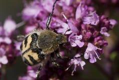 蜂甲虫 库存图片