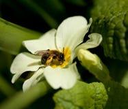 蜂男性开采黄褐色 库存照片