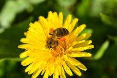 蜂的宏观照片从一朵黄色花收集花蜜 库存照片