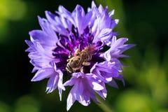 蜂的宏观照片 矢车菊cyanus关闭 一只蜂 免版税库存图片