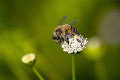蜂的早餐 免版税库存图片
