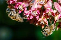 蜂的特写镜头照片 蜂蜜蜂收集花粉特写镜头 蜂的照片坐玫瑰花 蜂授粉 免版税库存照片