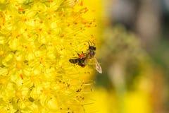 蜂的特写镜头照片 蜜蜂收集花粉特写镜头 蜂的照片坐一朵黄色花 蜂授粉 免版税库存照片