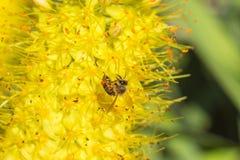 蜂的特写镜头照片 蜜蜂收集花粉特写镜头 蜂的照片坐一朵黄色花 蜂授粉 库存图片