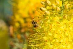 蜂的特写镜头照片 蜜蜂收集花粉特写镜头 蜂的照片坐一朵黄色花 蜂授粉 图库摄影