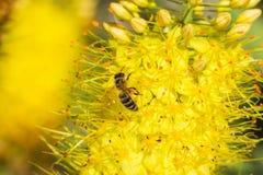 蜂的特写镜头照片 蜜蜂收集花粉特写镜头 蜂的照片坐一朵黄色花 蜂授粉 免版税图库摄影