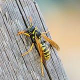 黄蜂的特写镜头的画象 库存照片