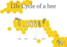 蜂的生命周期 免版税库存照片