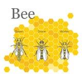 蜂的科学图象在蜂窝背景的  皇族释放例证