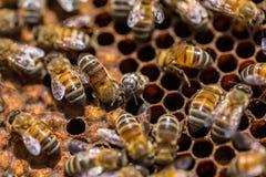蜂的诞生 库存照片