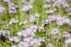 蜂的紫色花 免版税库存图片