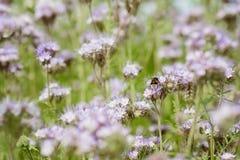 蜂的紫色花 免版税图库摄影