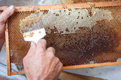 蜂窝将打开为收获非常有趣的蜂蜜开盖的unwaxing的叉子蜂农 库存照片