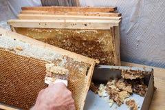 蜂窝将打开为收获非常有趣的蜂蜜开盖的unwaxing的叉子蜂农 免版税库存图片