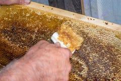 蜂窝将打开为收获非常有趣的蜂蜜开盖的unwaxing的叉子蜂农 免版税库存照片