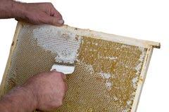 蜂窝将打开和开盖为收获蜂蜜 库存照片