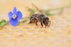 蜂窝空和有很多蜂蜜 库存图片