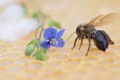 蜂窝空和有很多蜂蜜 图库摄影