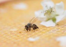 蜂窝空和有很多蜂蜜 库存照片