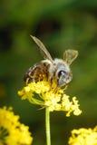 蜂繁忙的花 库存照片