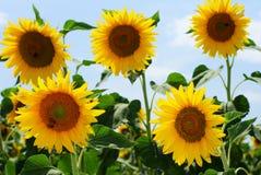 蜂组蜂蜜向日葵 库存照片