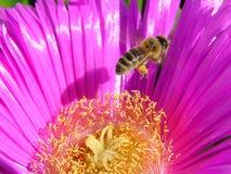 蜂花粉红色 库存图片