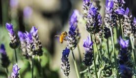 蜂花蜂蜜淡紫色 免版税库存照片