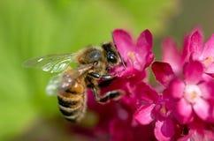 蜂花蜂蜜紫色 库存图片