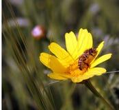蜂花蜂蜜 免版税库存照片