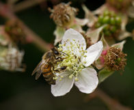 蜂花蜂蜜 免版税图库摄影