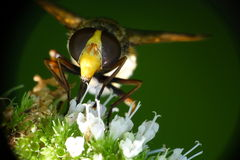 蜂花蜜吮 免版税库存图片