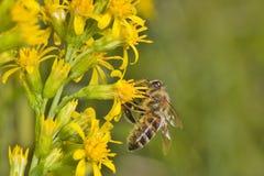 蜂花蜜挑库 库存照片