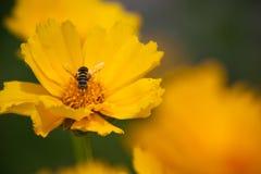 蜂花 图库摄影
