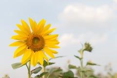 蜂蜂房授粉向日葵 免版税库存图片