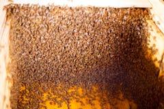 蜂蜂房的框架 收获蜂蜜的蜂农 蜂吸烟者用于在框架前镇定蜂 喻被困惑困惑 库存照片